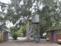Arcadia Public School grounds -Eucalyptus Maidenii planted 1953 & the Water tank 1957 in 2014