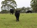 Local Cows (1024x683)